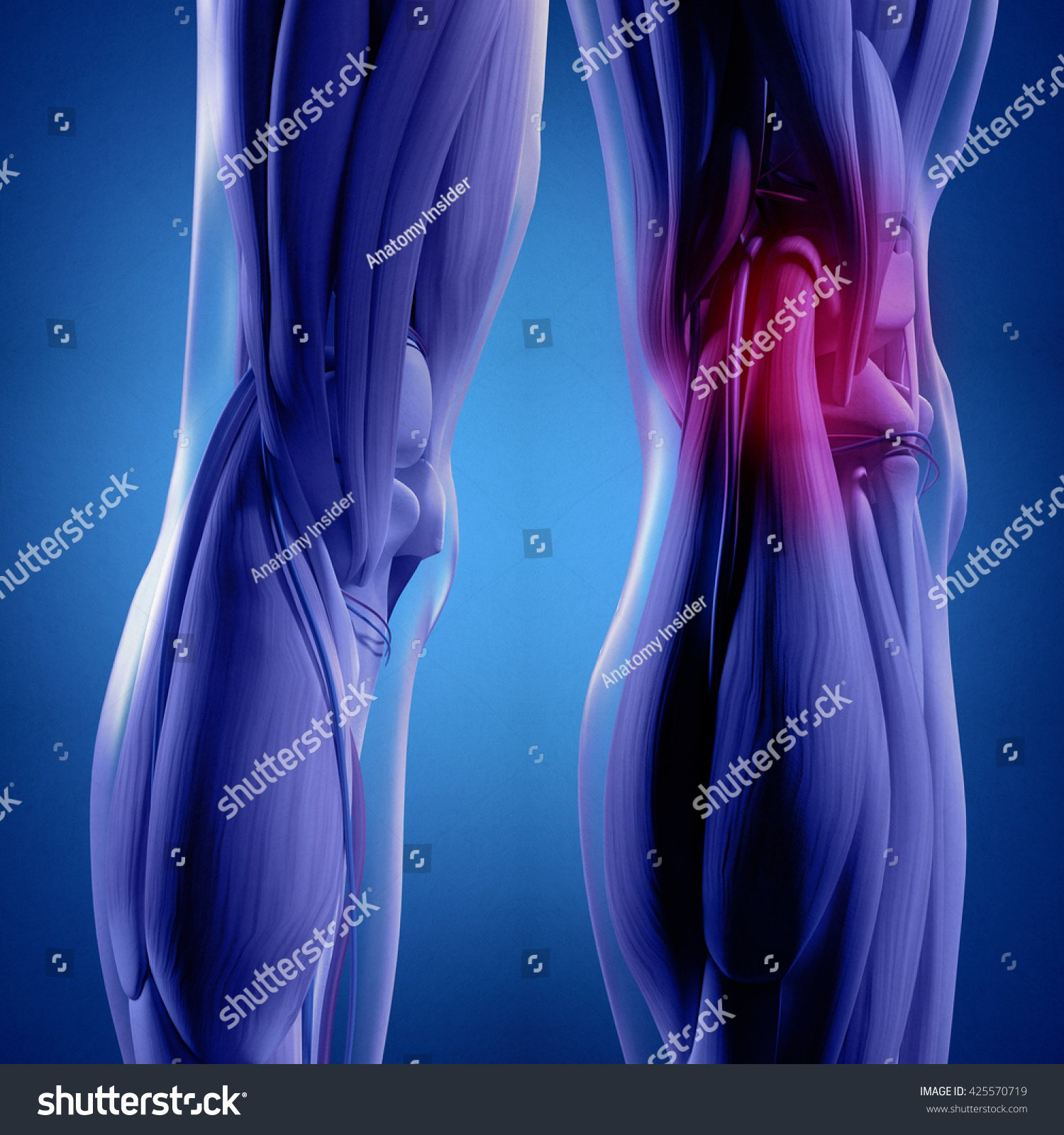 Human Anatomy Back Legs Calf Muscles Stock Illustration 425570719 ...