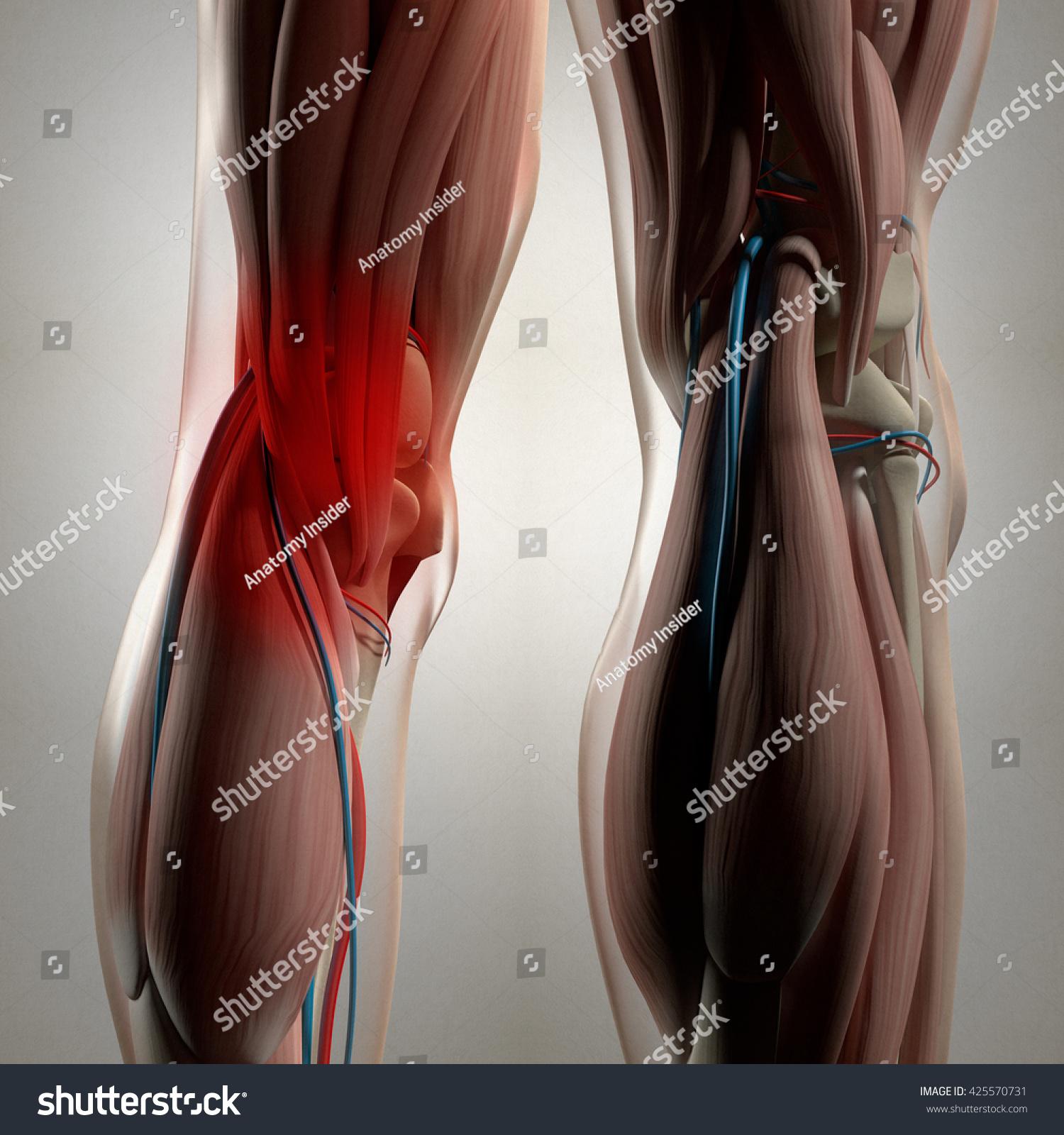 Human Anatomy Back Legs Calf Muscles 425570731
