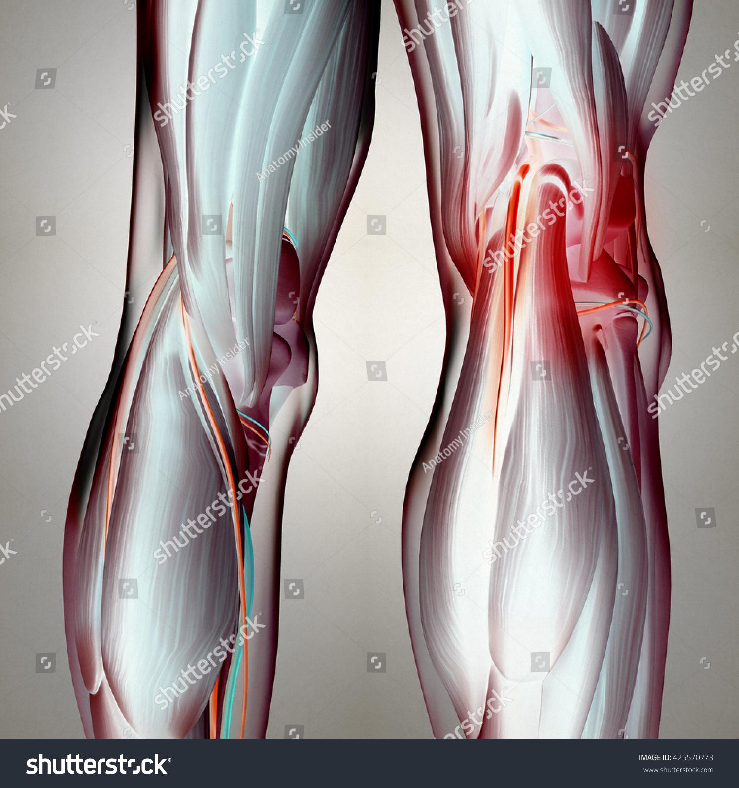 Royalty Free Stock Illustration Of Human Anatomy Back Legs Calf