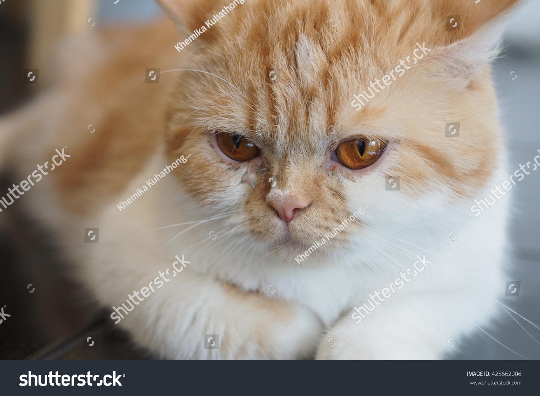 Edit Images Free Online - Persian cat | Shutterstock Editor