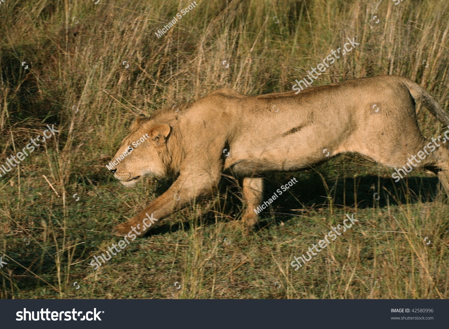 Male lion stalking prey - photo#22