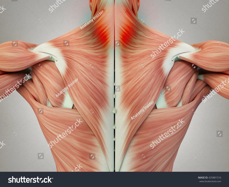 Human Anatomy Torso Back Muscles Pain Stock Illustration 425881516