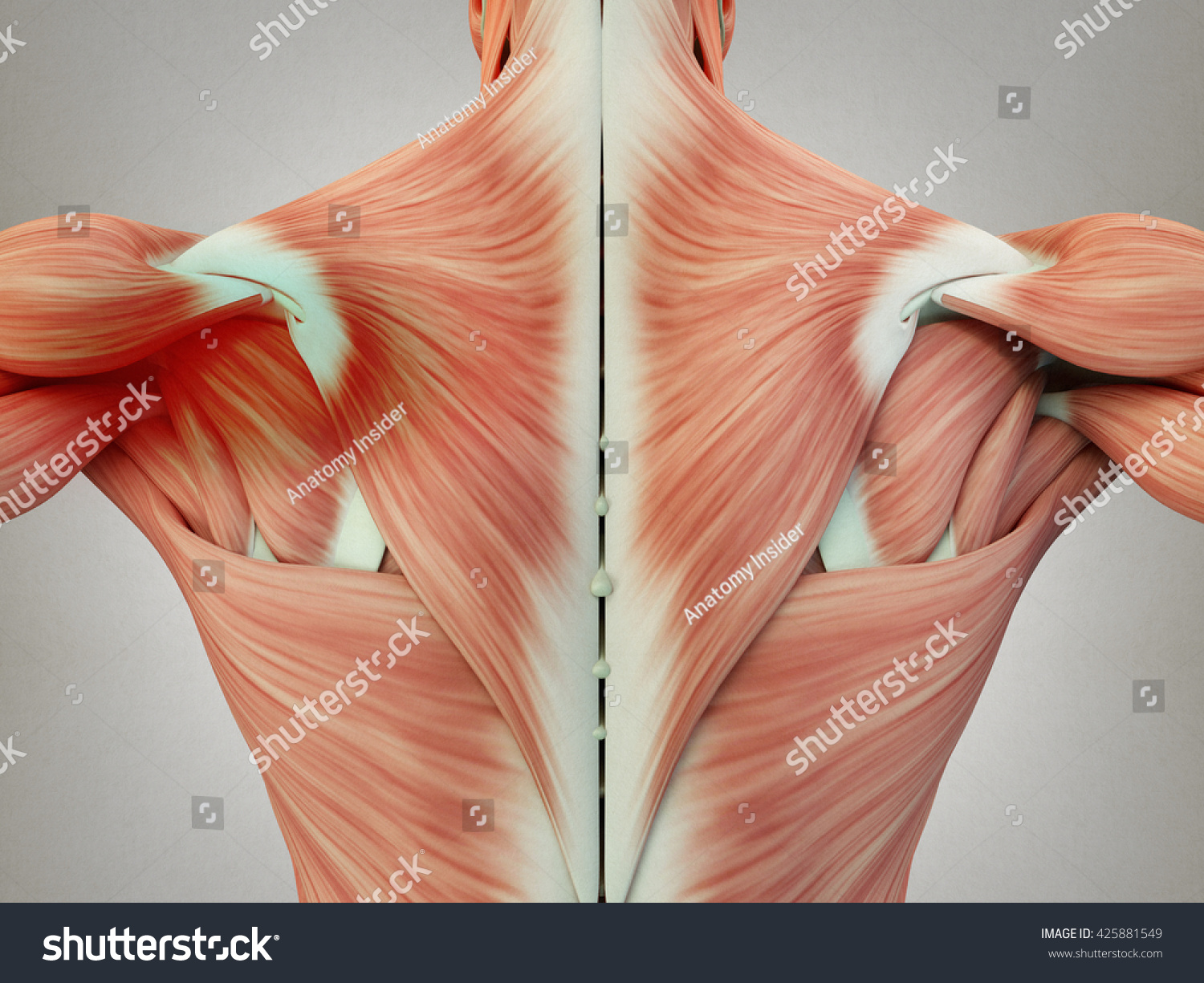 Human Anatomy Torso Back Muscles Pain Stock Illustration 425881549 ...
