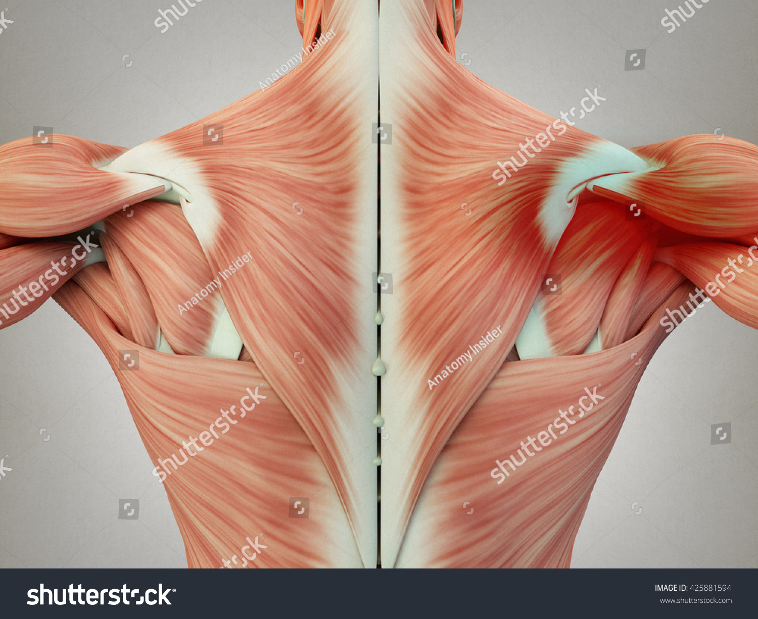 Human Anatomy Torso Back Muscles Pain Stock Illustration 425881594 ...