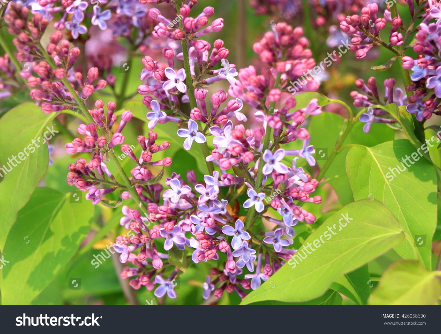Lilac Blooms A Beautiful Bunch Of Lilac Closeup Lilac Flowering