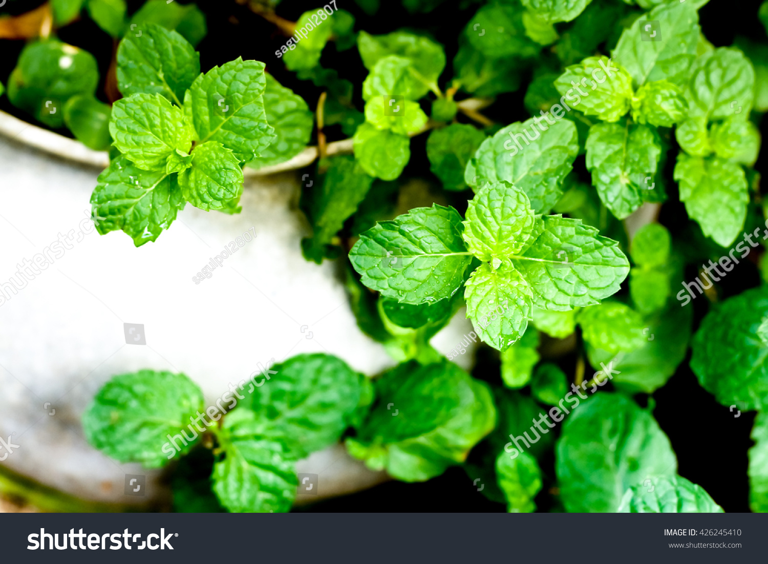 Mint in pots stock photo 426245410 shutterstock - Aromatic herbs pots multiple benefits ...