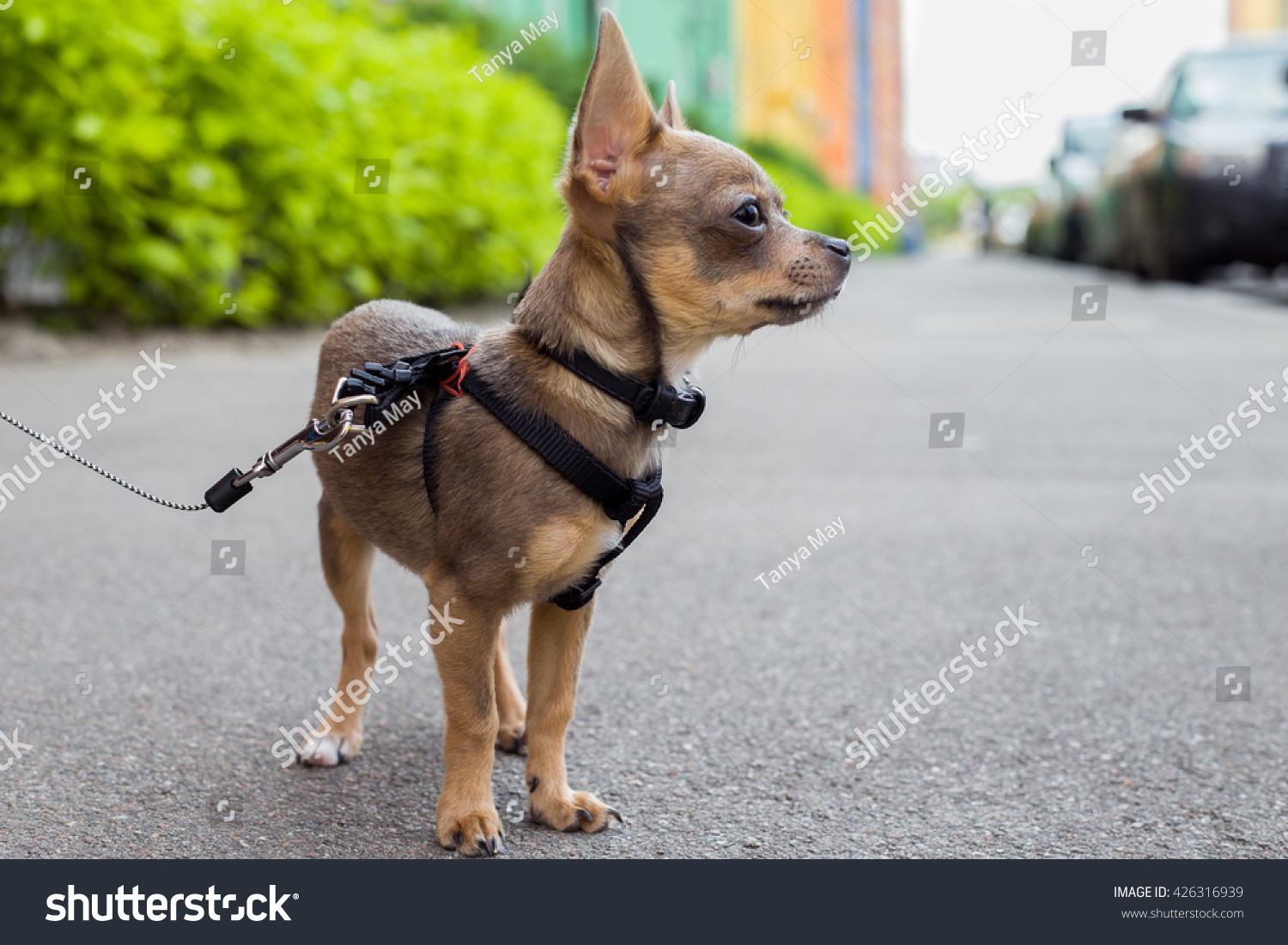 Portrait Tiny Puppy Chihuahua On Street Stock Photo Edit Now 426316939