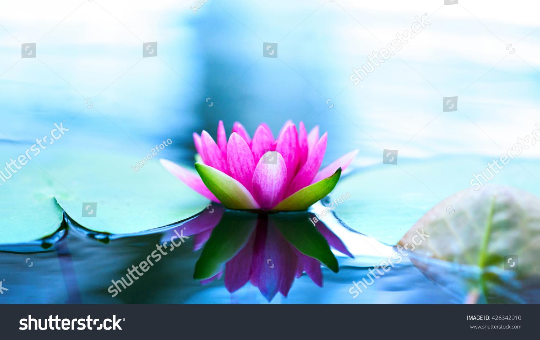 Beautiful Pink Lotus Flower Pond Stock Photo Royalty Free