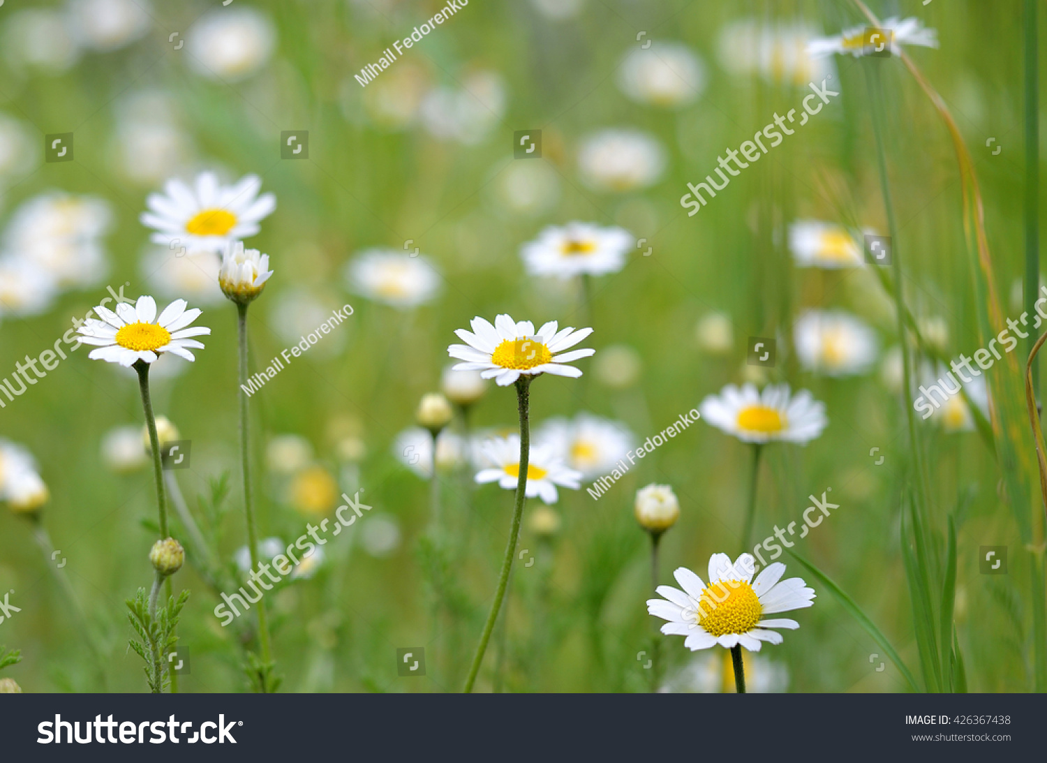 Glade With Daisies Spring Flowers Glade With Small White Flowers