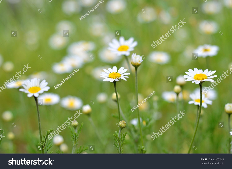 Bright Daisies Summer Photo Small White Flowers Macro Photography