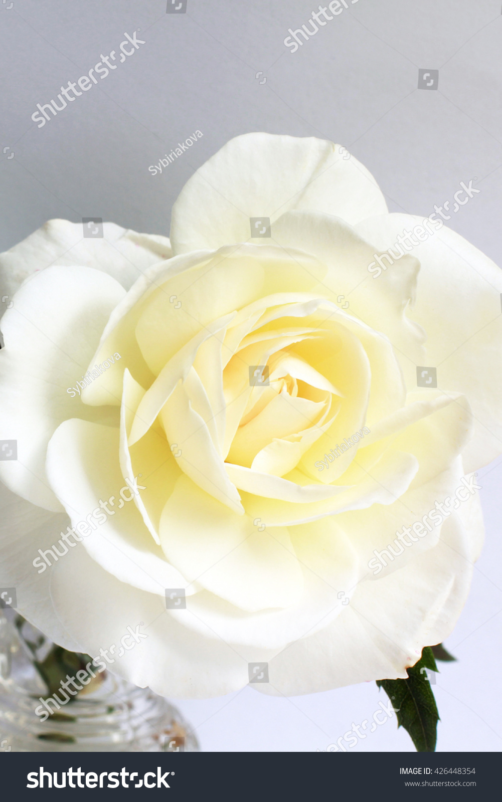 Beautiful Single White Rose Flower Copy Stock Photo 426448354 With