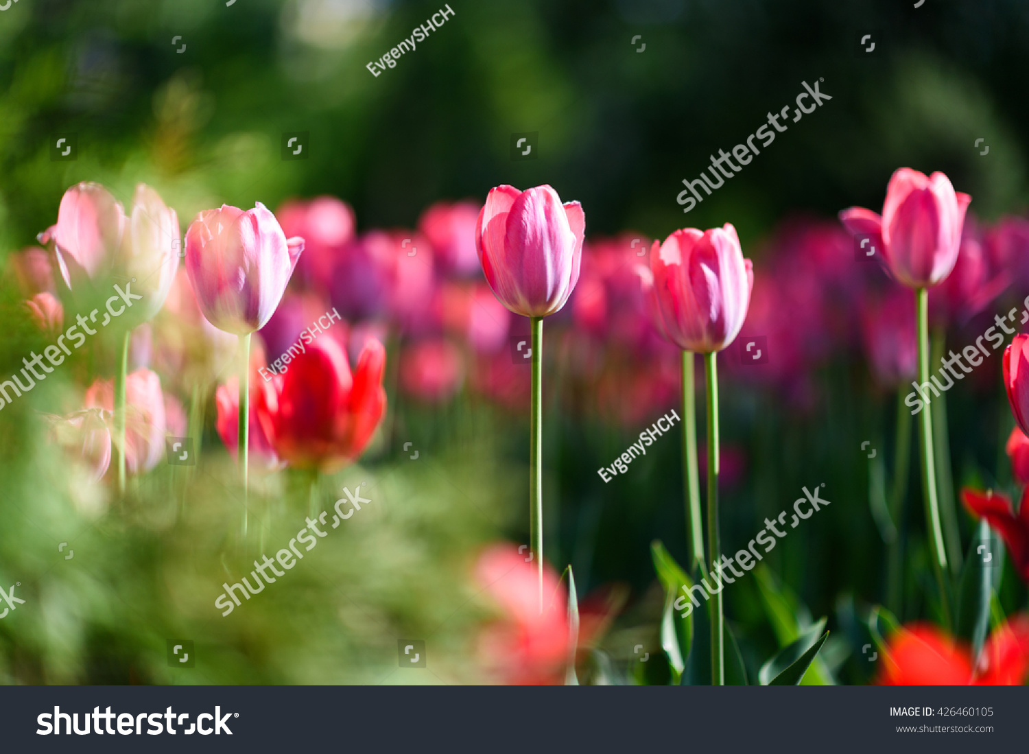 amazing nature concept pink tulips flowering stock photo 426460105