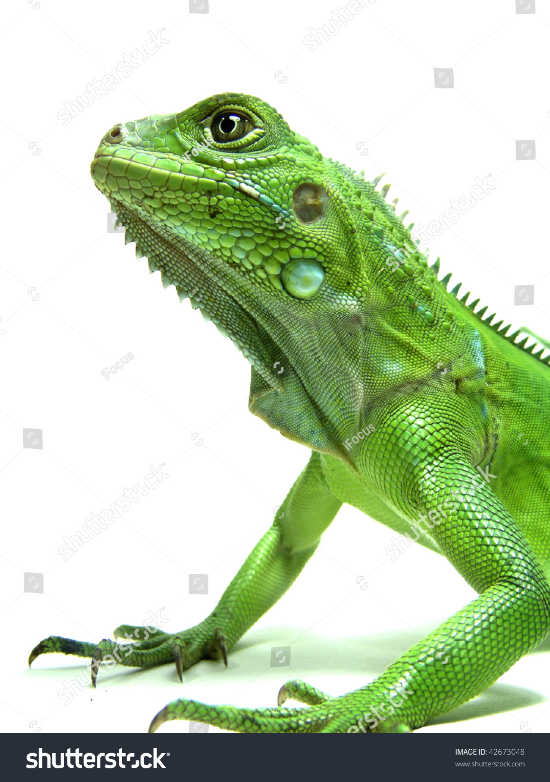 Isolated photo of a Green iguana
