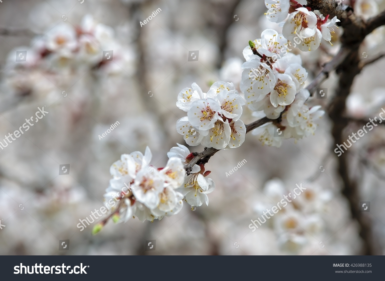Spring Flowering Apricot Large White Flowers Background Texture