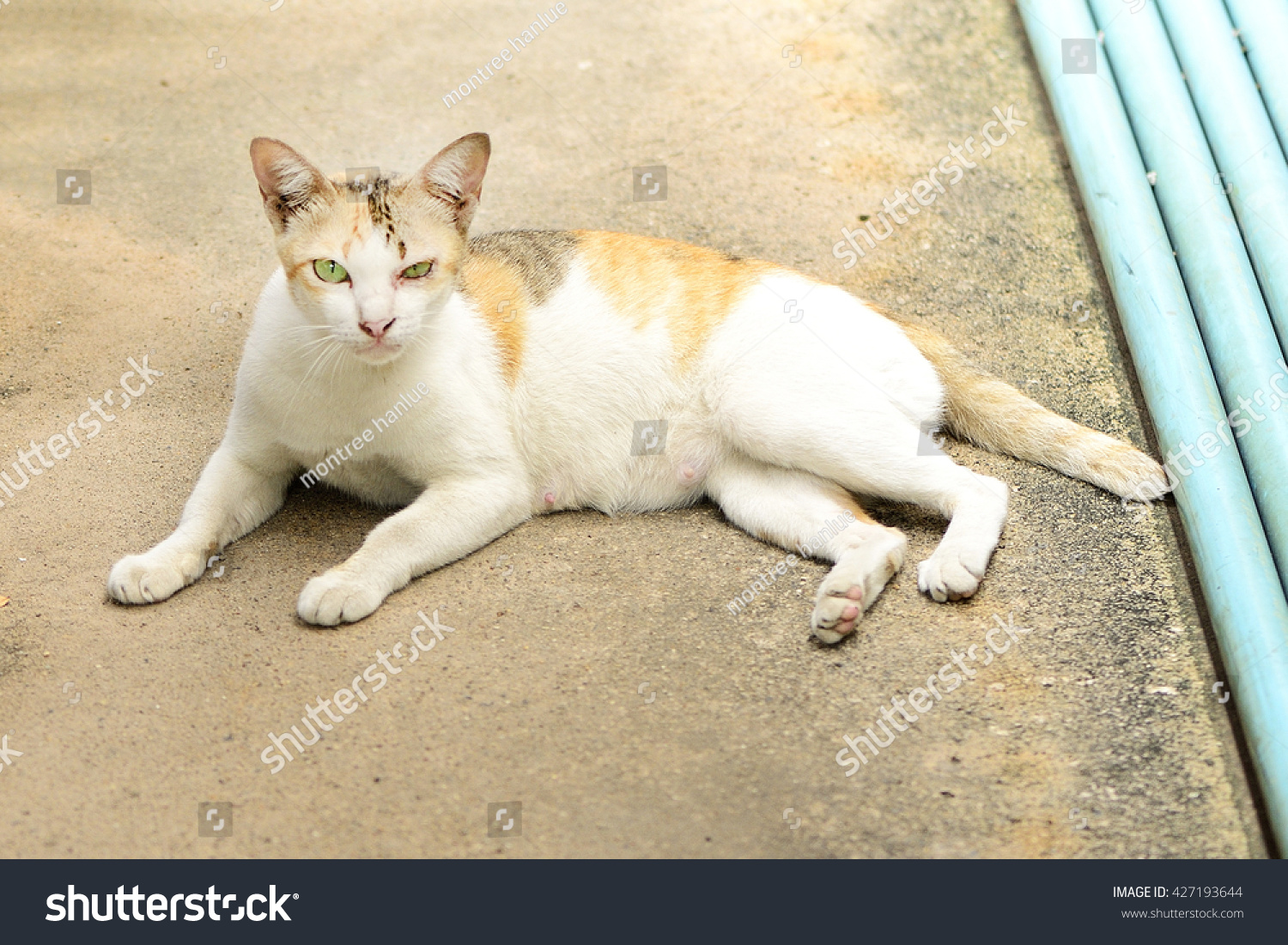White Color Cat Thai Nature Local On The Street Bangkok Thailand