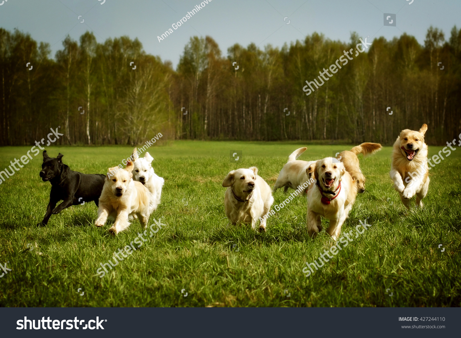 Group of dogs running