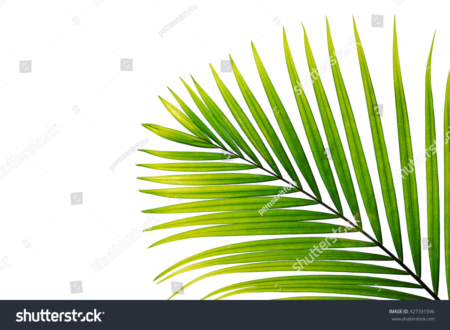 leaf palm tree isolated on white stock photo 427331596 shutterstock