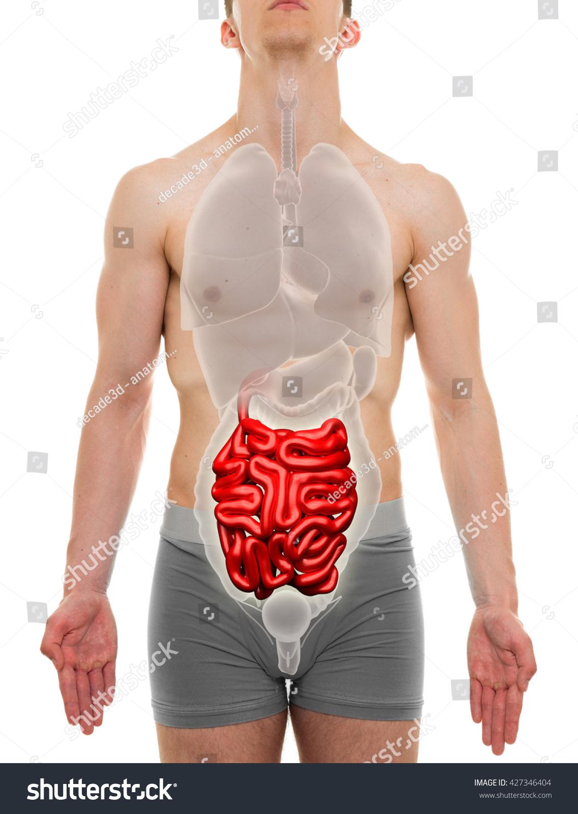 Small Intestine Male Internal Organs Anatomy Stock Photo Edit Now