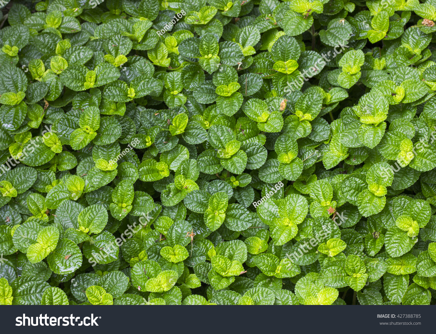 Mint Plant Grow At Vegetable Garden Wallpaper