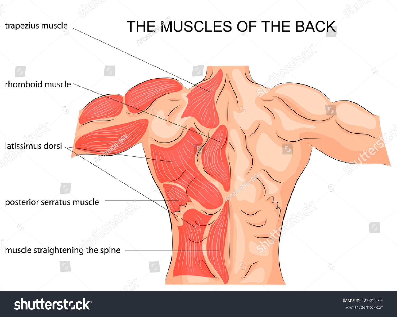 Illustration Back Muscles Bodybuilder Spine Sport Stock Vector