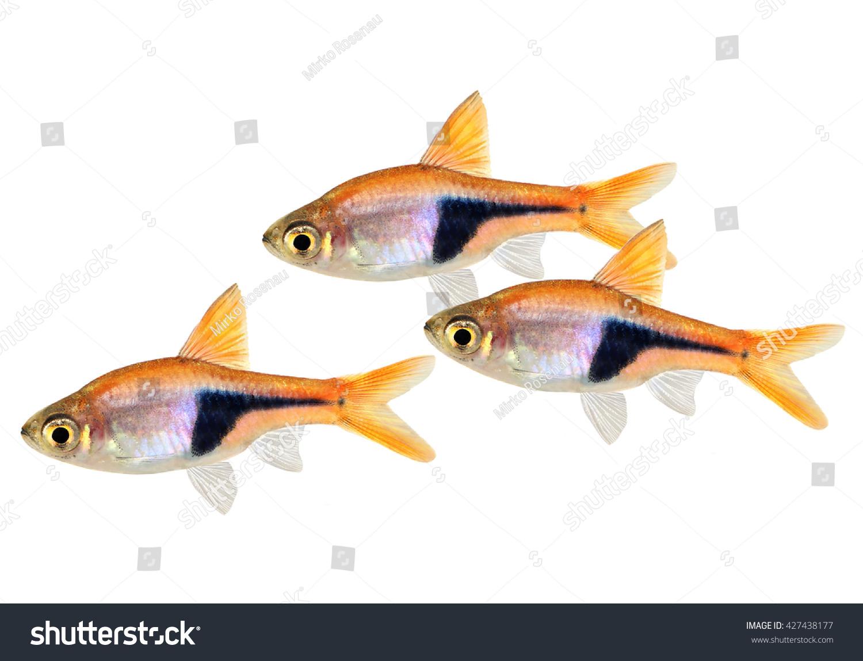 Freshwater aquarium fish rasbora -  Rasbora Heteromorpha Freshwater Aquarium Fish Preview Save To A Lightbox