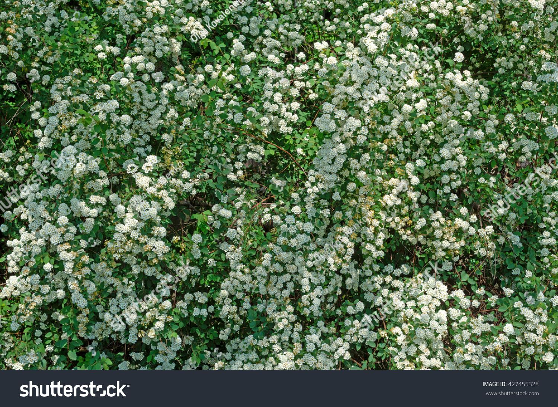 Spiraea Alpine Spring Flower White Flowering Stock Photo Edit Now
