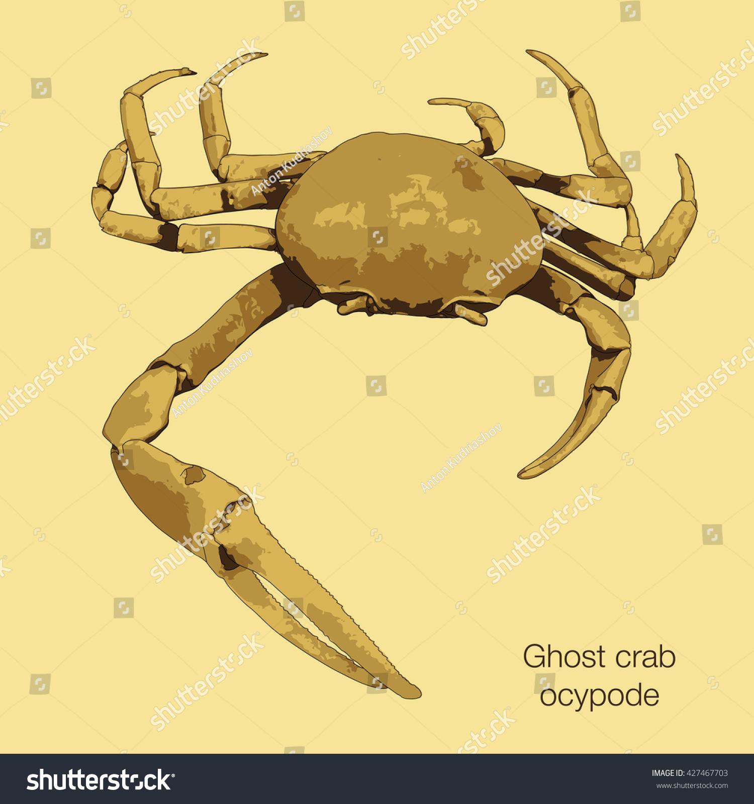 Sand Crab Drawing