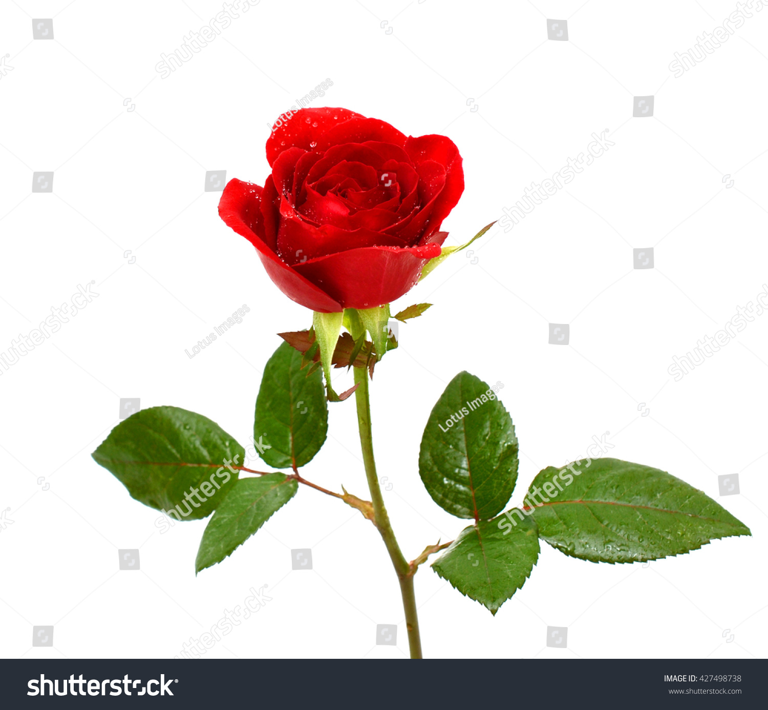 Single Red Rose Flower Isolated On Stock Photo Edit Now 427498738