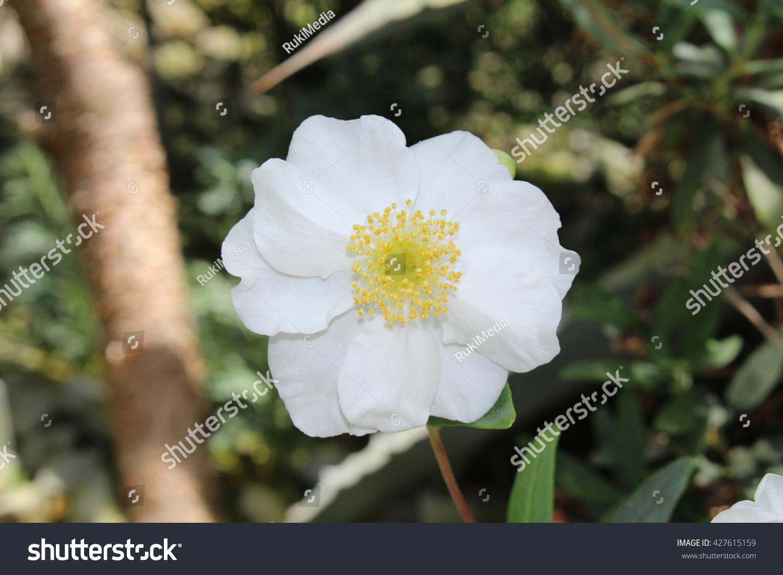 White Bush Anemone Flower Or Tree Stock Photo Edit Now 427615159