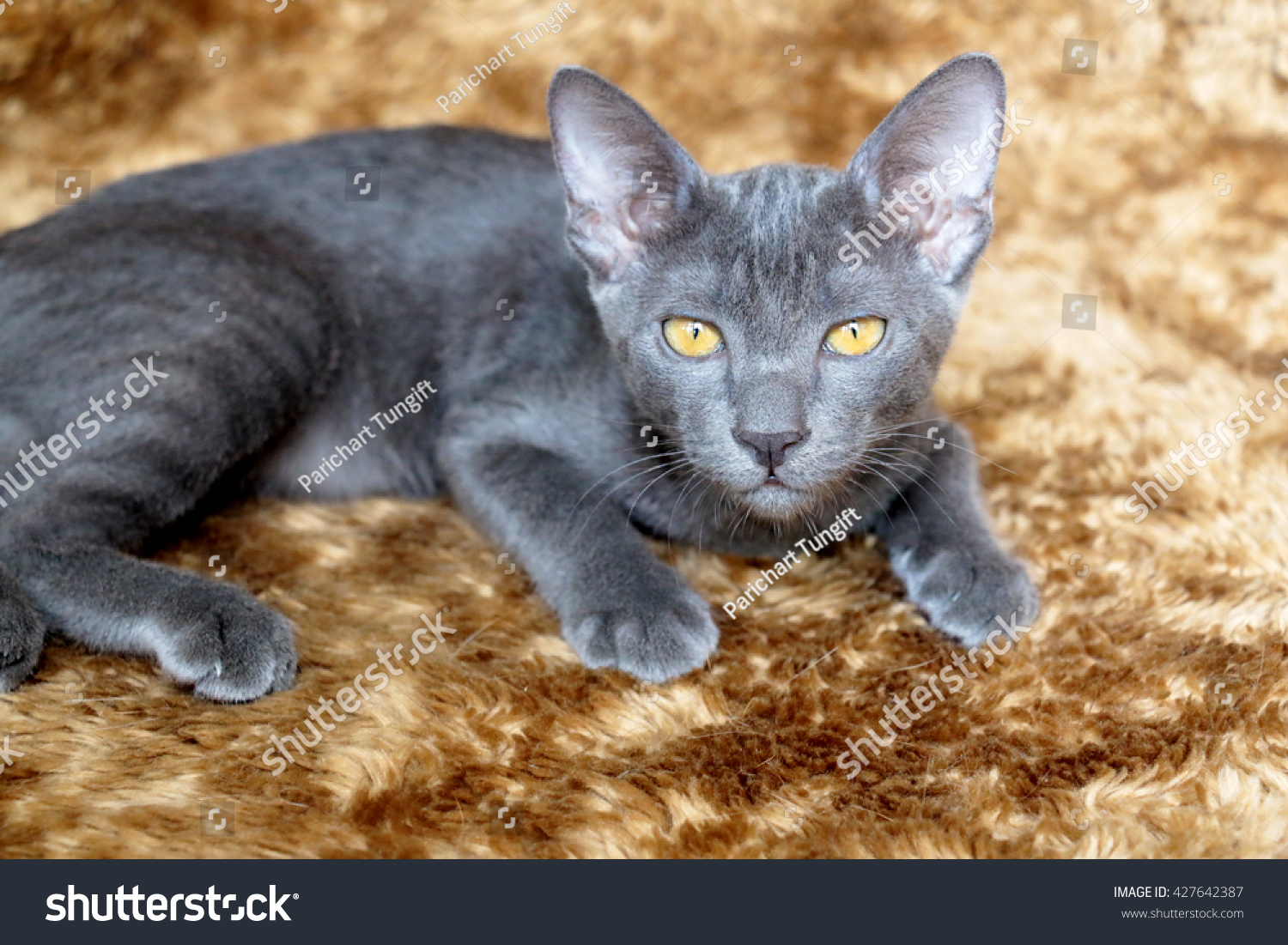 Color of cats fur - Close Up The Korat Kitten Gray Color Cat Look Through The Light And