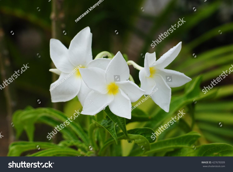 White Flowers Flowers Flowers Champa Laos Petals 5 Petals
