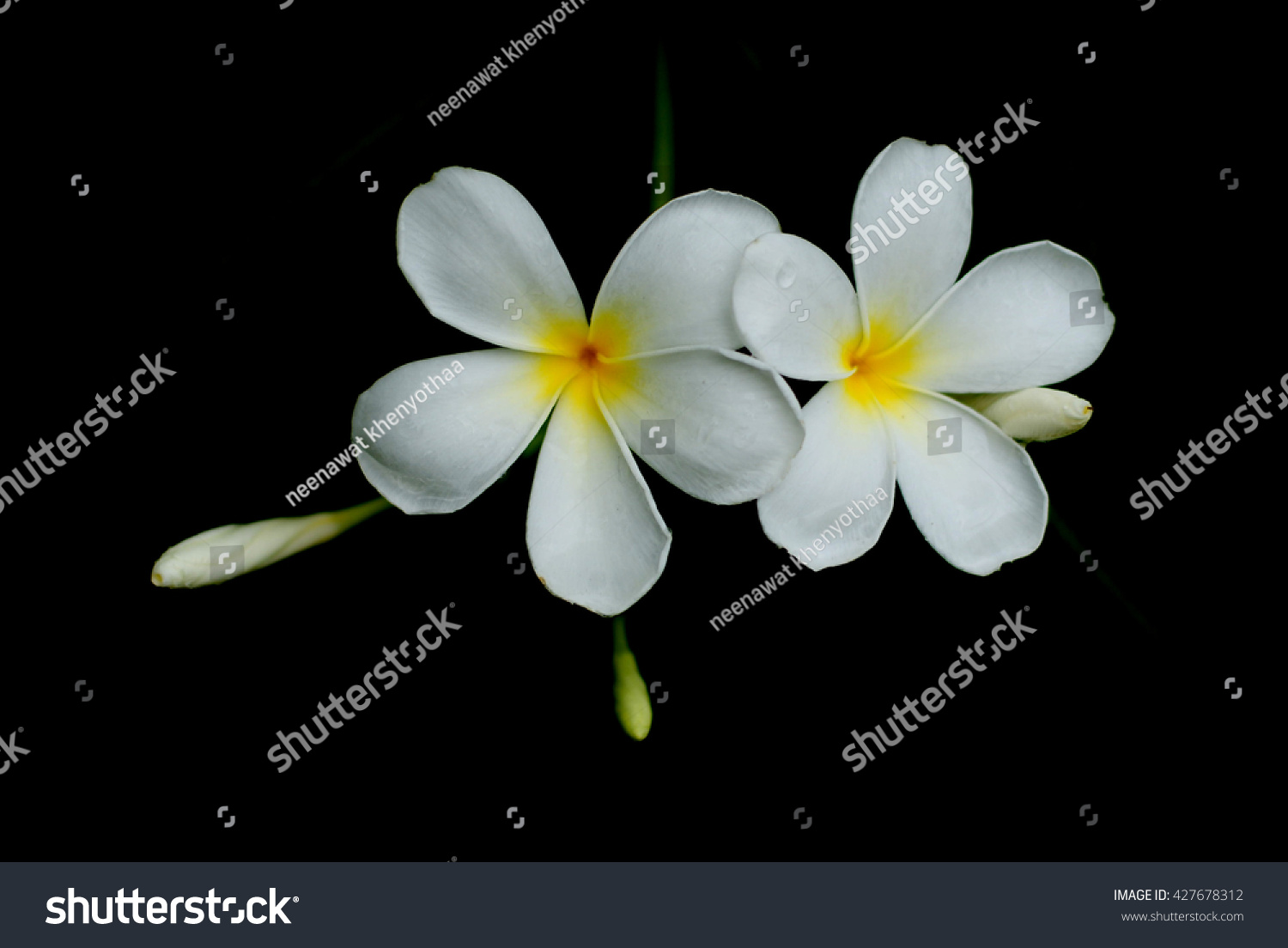 White Flowers Flowers Flowers Champa Laos Stock Photo Edit Now