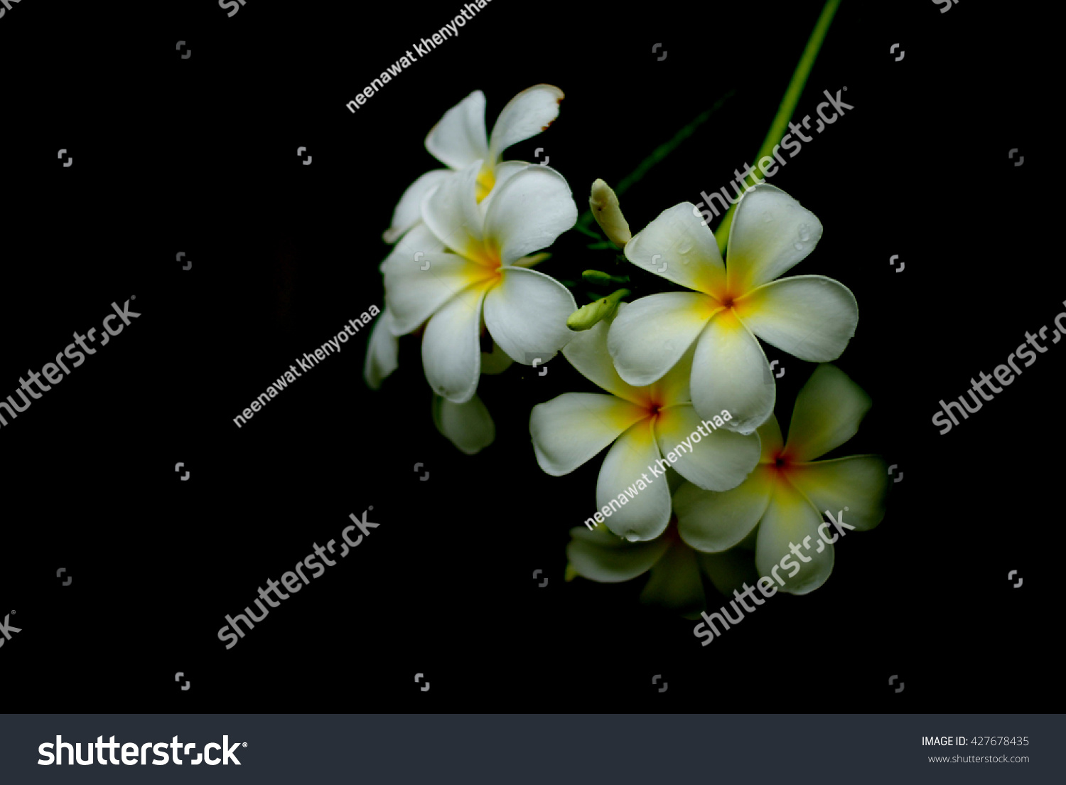 Royalty Free White Flowers Flowers Flowers Champa 427678435