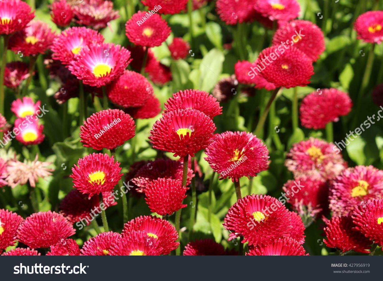 Red english daisy flowers st gallen stock photo edit now 427956919 red english daisy flowers in st gallen switzerland its latin name izmirmasajfo