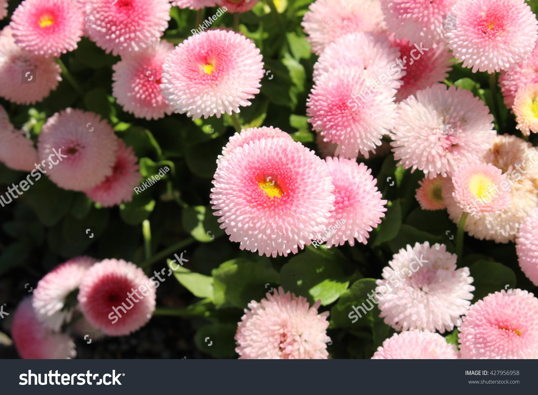 Pink english daisy flowers or tasso stock photo edit now 427956958 pink english daisy flowers or tasso pink in st gallen izmirmasajfo