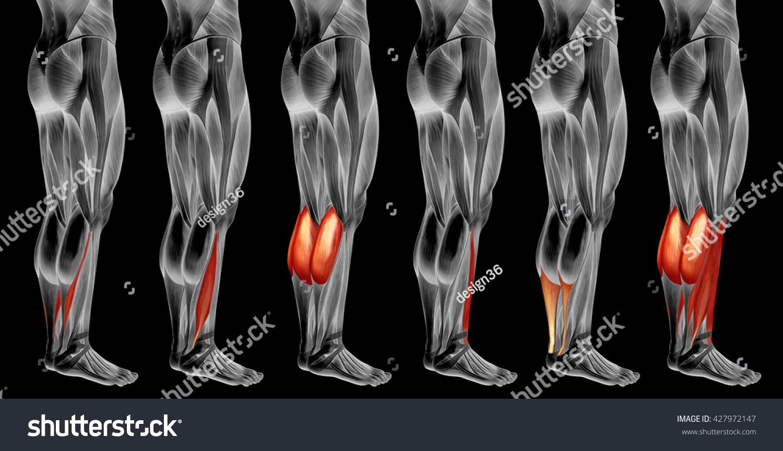 Concept 3 D Human Lower Leg Anatomy Stock Illustration 427972147