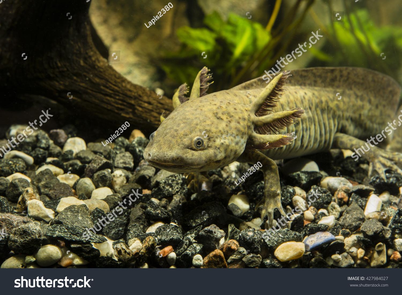 Axolotl Aquarium Animals Wildlife Stock Image 427984027