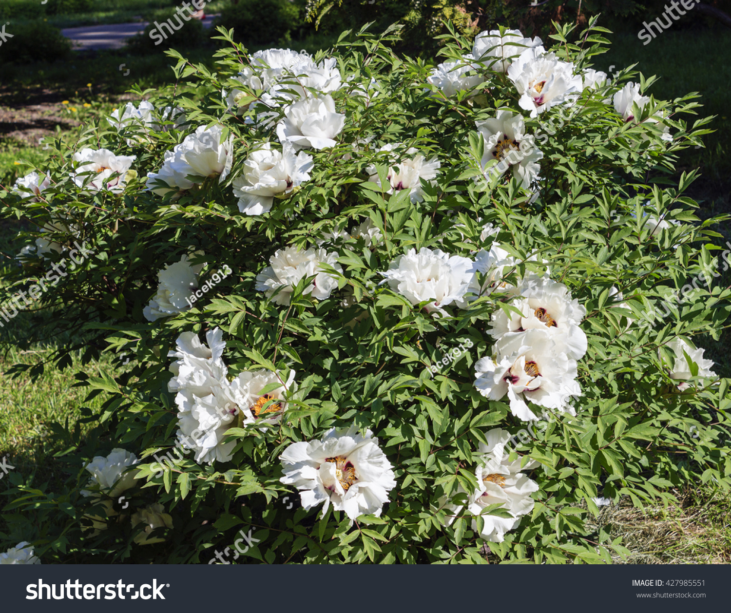 Bush Tree Peony Large White Flowers Stock Photo Edit Now 427985551