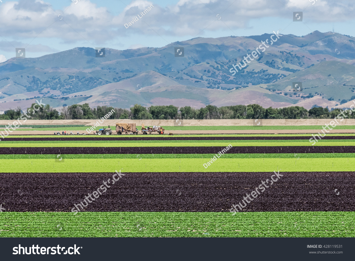 Alternating rows of green and purple lettuce are harvested in the Salinas Valley of central California, with the Gabilan Mountains in the background.