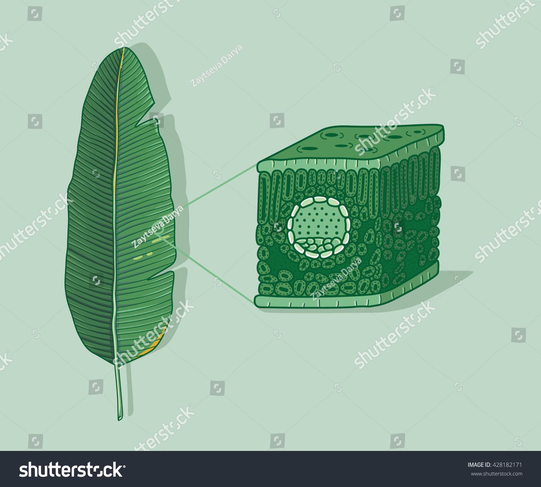 Cartoon Leaf Anatomy Structure Under Microscopy Stock Vector ...