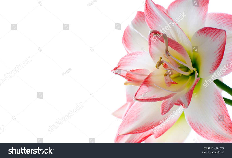 Hippeastrum flower family amaryllidaceae language flowers stock hippeastrum flower family amaryllidaceae in the language of flowers means splendid beauty izmirmasajfo