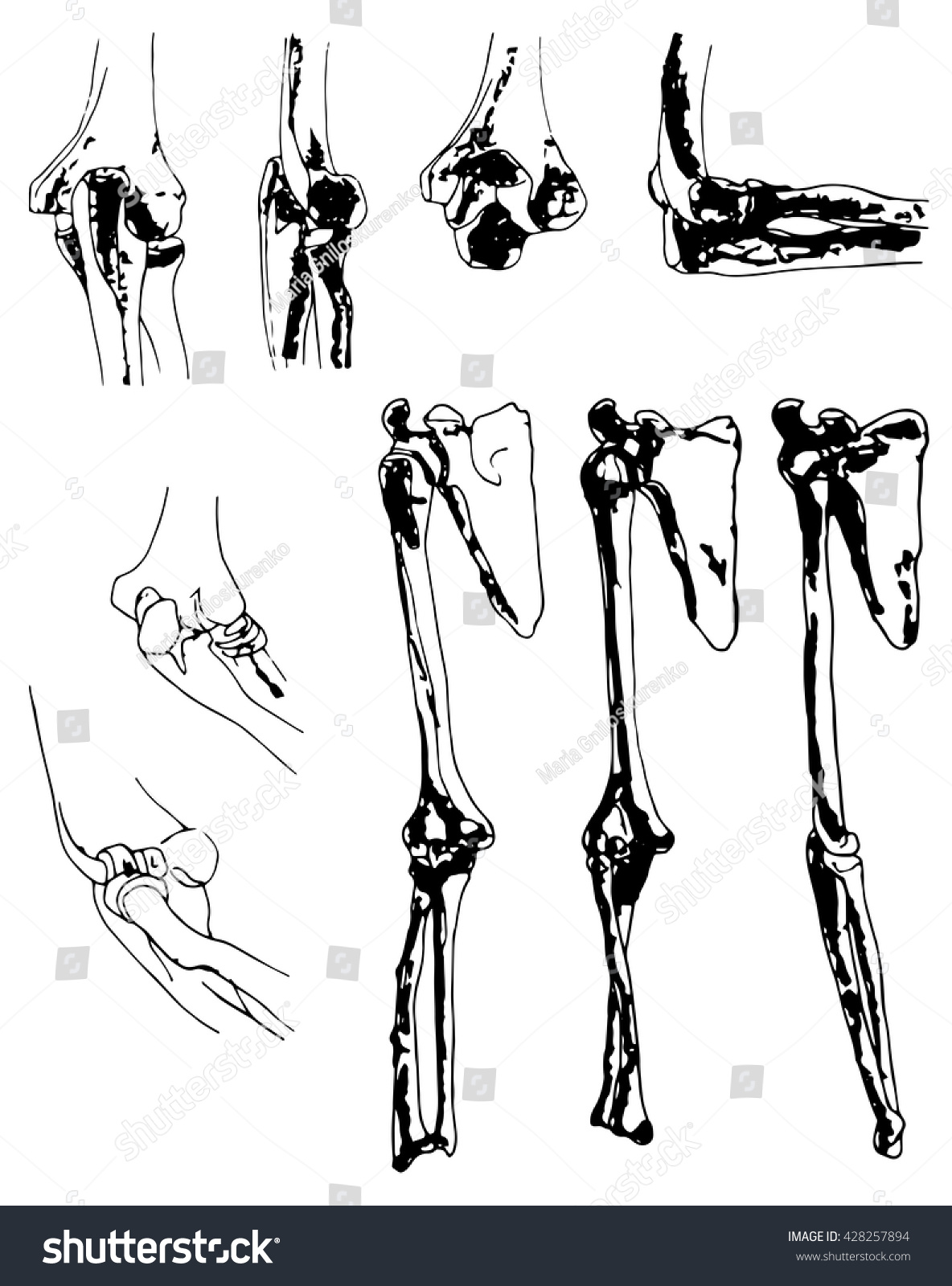 Vector Graphical Representation Bones Shoulder Girdle Stock Photo ...