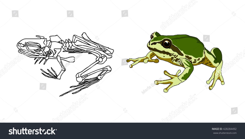 Skeleton Amphibians Toad Frog Anatomy Vector Stock Vector 428284492 ...