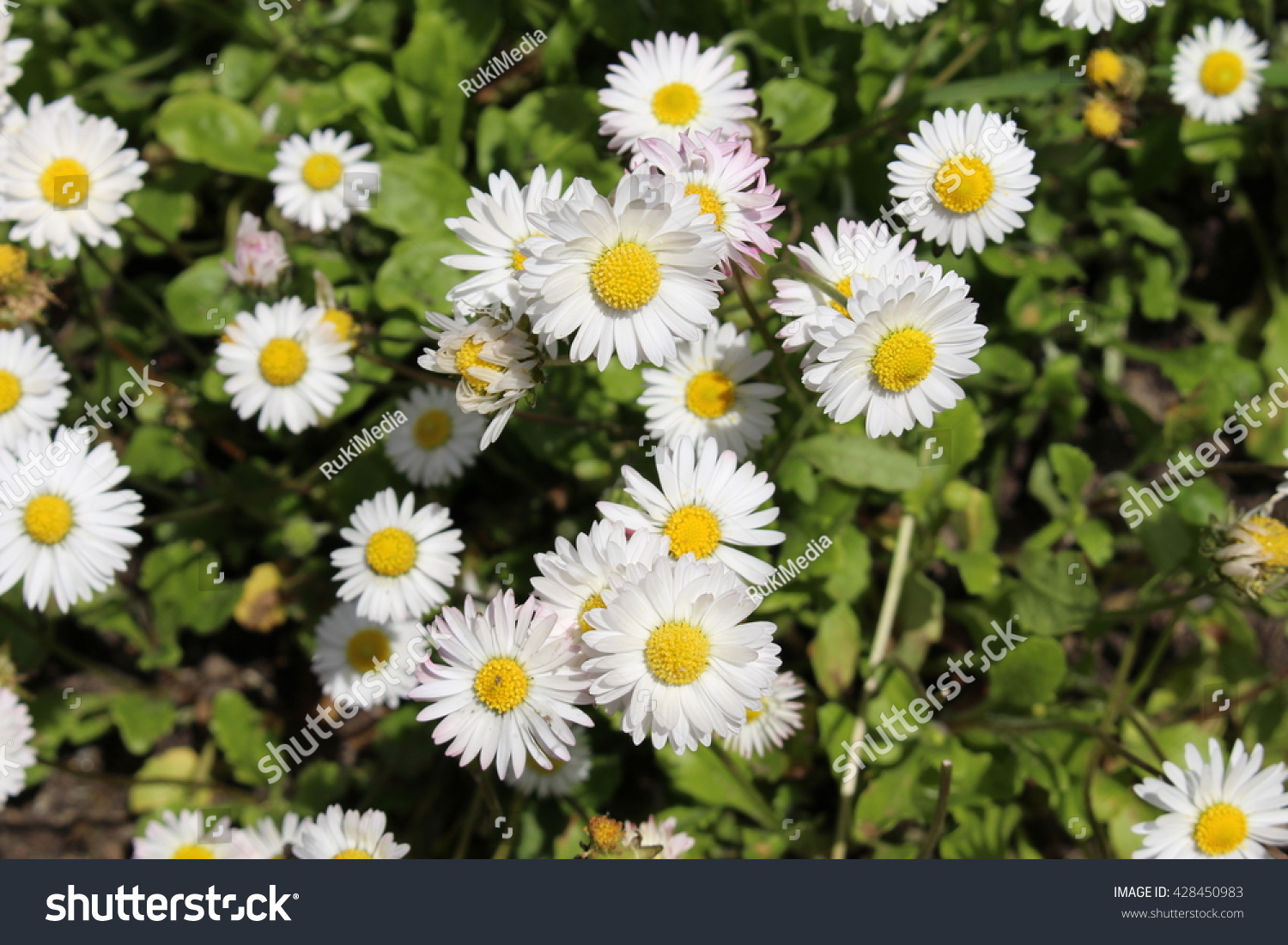 White Yellow Annual Daisy Flowers St Stock Photo Edit Now