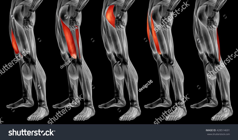 Concept 3 D Human Upper Leg Anatomy Stock Illustration 428514691 ...