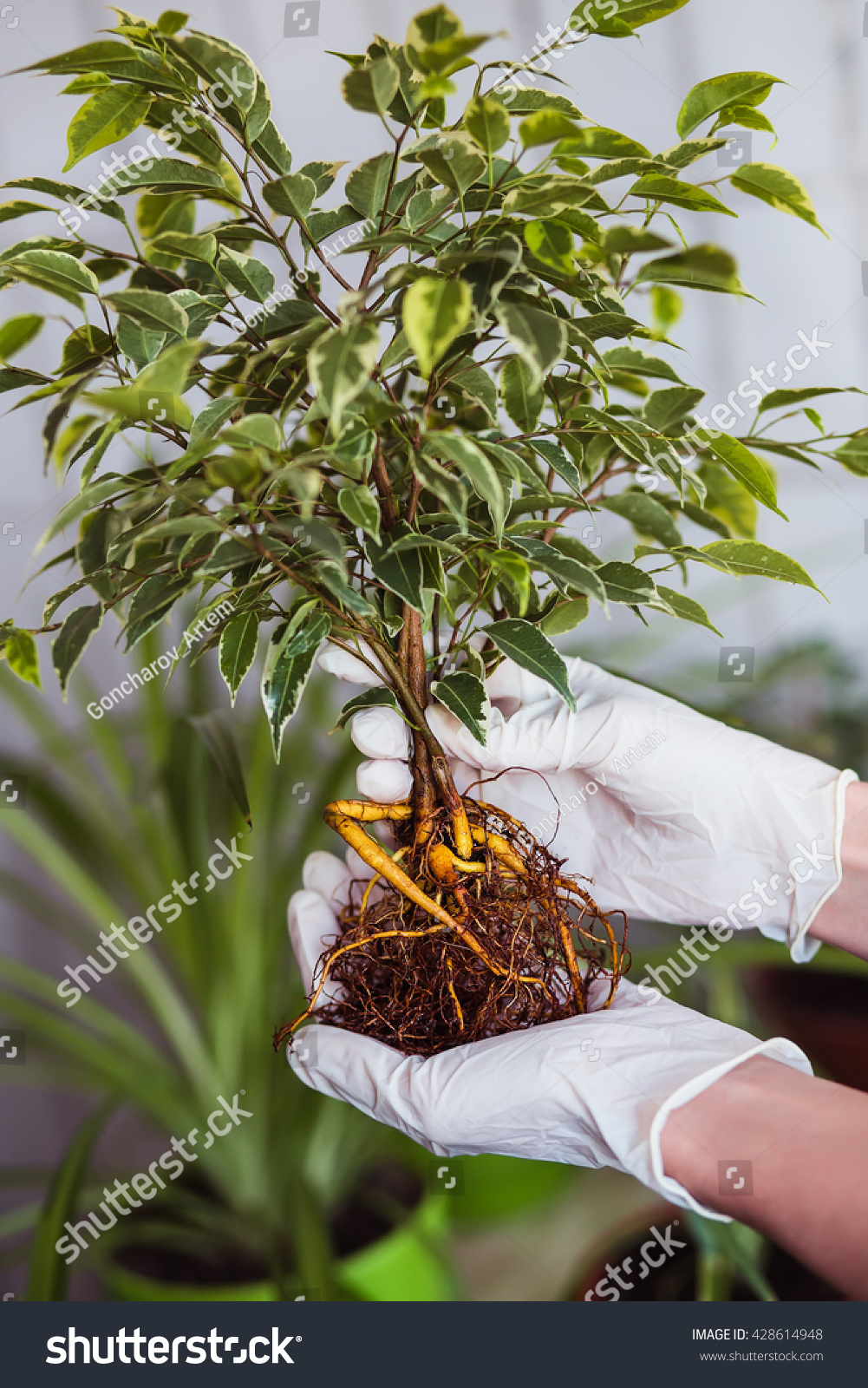 How to transplant the ficus of Benjamin