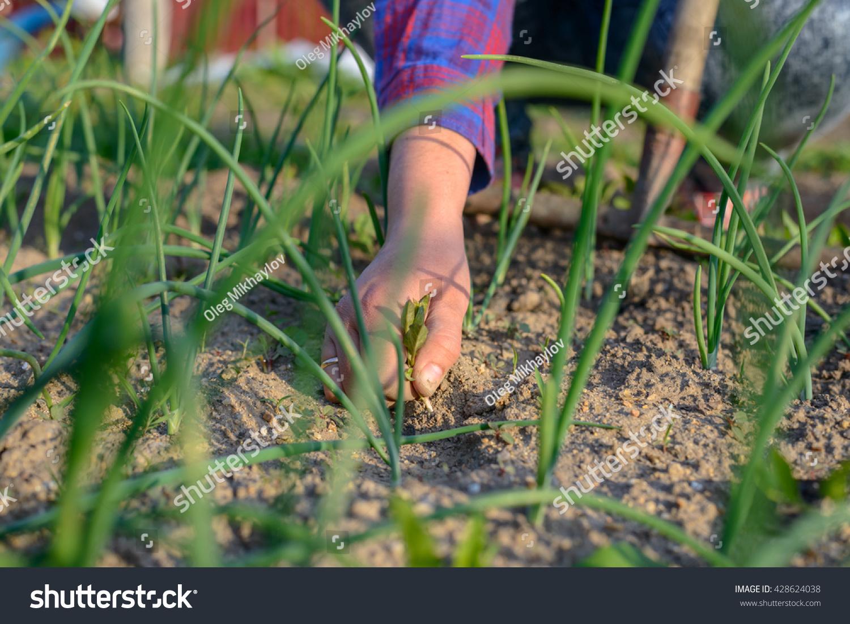 Weeds In Vegetable Garden Part - 43: Woman Pulling Weeds In Her Vegetable Garden In Spring Holding A Weed In Her  Hand As