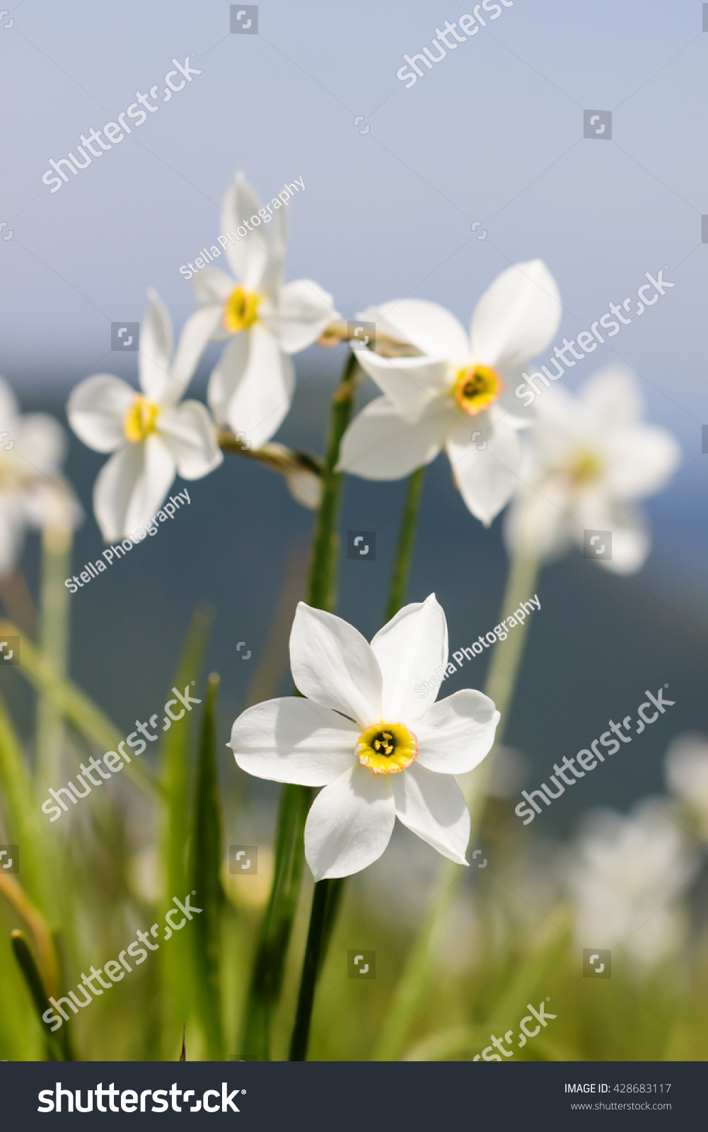 Blurred Image White Flowers Lily Rain Stock Photo Edit Now