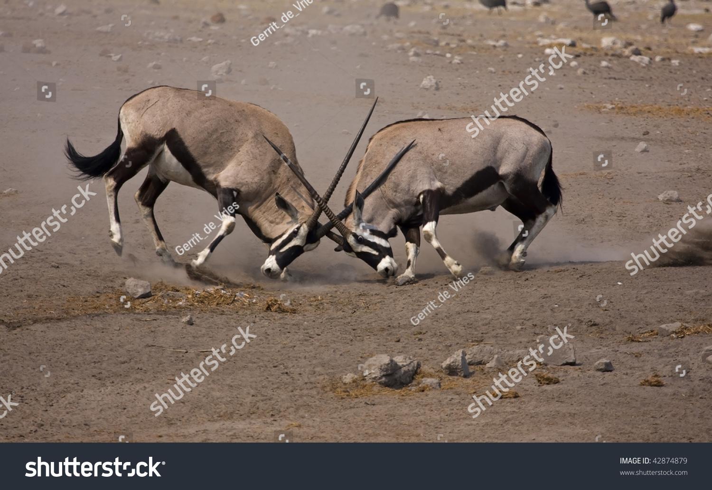 Intense Gemsbok Fight; Oryx Gazella Stock Photo 42874879 ...