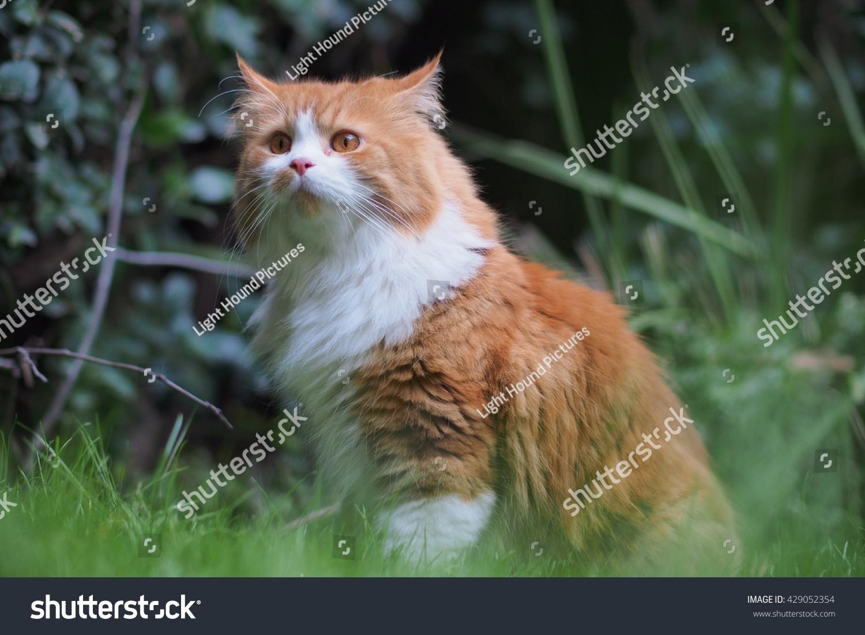 Regal Orange Long Haired Bi Color Stock Shutterstock